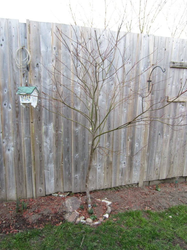 My bare Japanese Maple Tree, just itching to bloom again